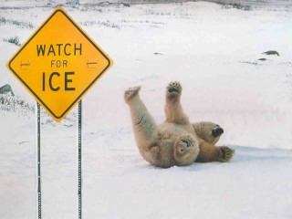 bear on ice