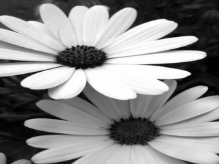Black and White Daisys